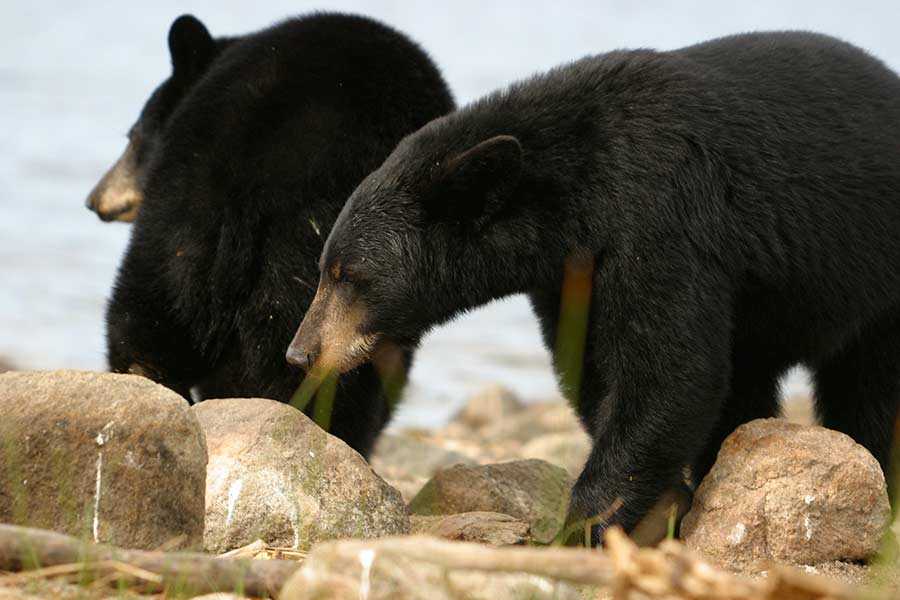 black-bear-wildlife-photography